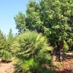 Ferienhaus Mallorca MA7420 Garten mit Palmen und Olivenbäumen
