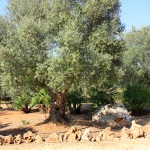 Ferienhaus Mallorca MA7420 alte Olivenbäume