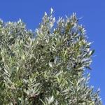 Ferienhaus Mallorca 5649 - Olivenbaum