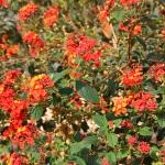Ferienhaus Mallorca MA5208 - Blumen im Garten