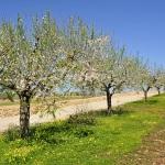 Ferienhaus Mallorca MA5650 Mandelbäume