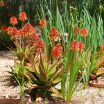 Finca S'Horta MA5656 blühende Blumen
