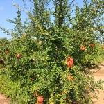 Ferienhaus Mallorca behindertengerecht MA5320  Granatapfelbaum
