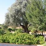 Ferienhaus Mallorca behindertengerecht MA5320  Olivenbaum