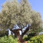 Ferienhaus Mallorca behindertengerecht MA5320 mit altem Olivenbaum