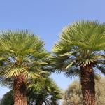 Ferienhaus Mallorca behindertengerecht MA5320 mit vielen Palmen