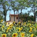 Ferienhaus Toskana TOH405 - Sonnenblumen