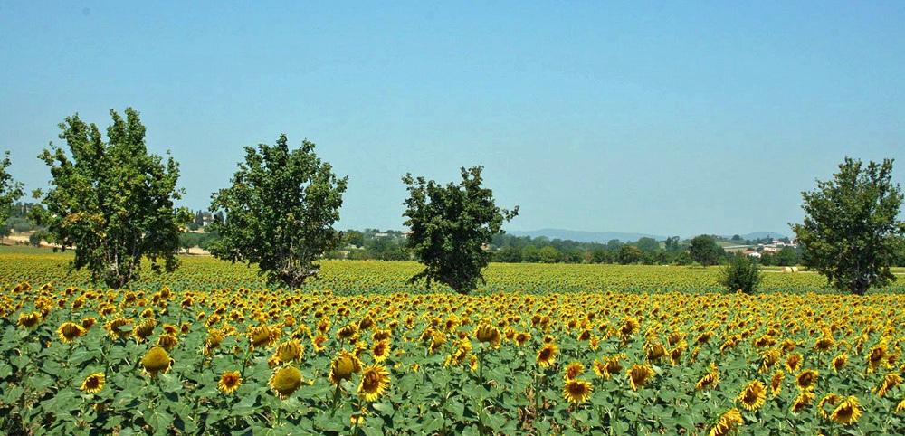 Toskana Ferienhaus TOH405 - Blick über die Sonnenblumen