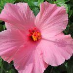 Villa Florida FVE41780 Hibiscus im Garten