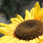 Sonnenblume an unserem Ferienhaus Mallorca 3964 in S'Horta