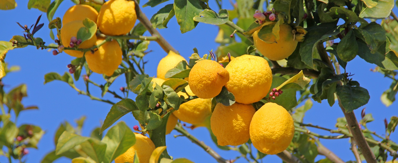 Zitronen in Boliqueime an der Algarve