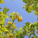 Ferienhaus Mallorca MA2160 Zitronenbaum im Garten