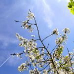 Ferienhaus Mallorca MA3366 blühender Baum im Garten
