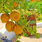 Ferienhaus Algarve ALS4617 Zitrusbaum mit Früchten